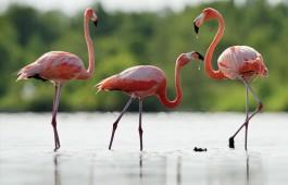 cuba_flamingo