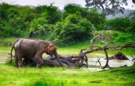 srilanka_elephant