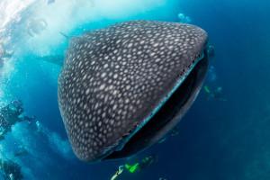 Фестиваль китовой акулы на Исла-Мухерес