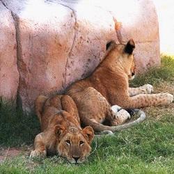 Отдых с детьми в ОАЭ: дубайский зоопарк увеличиться  в 60 раз