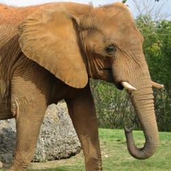 Слониха «прошлась» по припаркованным автомобилям
